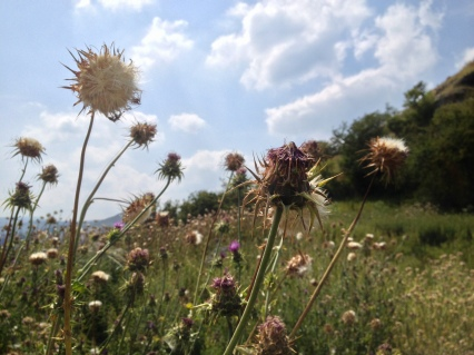 A field of thistles — protection against castle invaders?