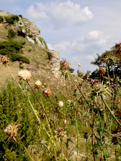 Thistles swaying in the wind around the Deganwy Castle ruins