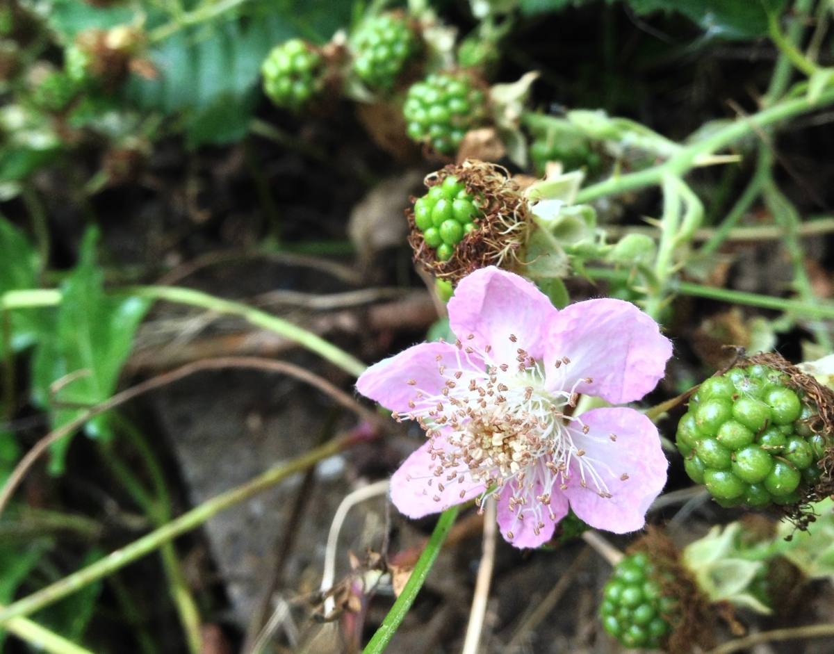 2014-08-04 blackberries