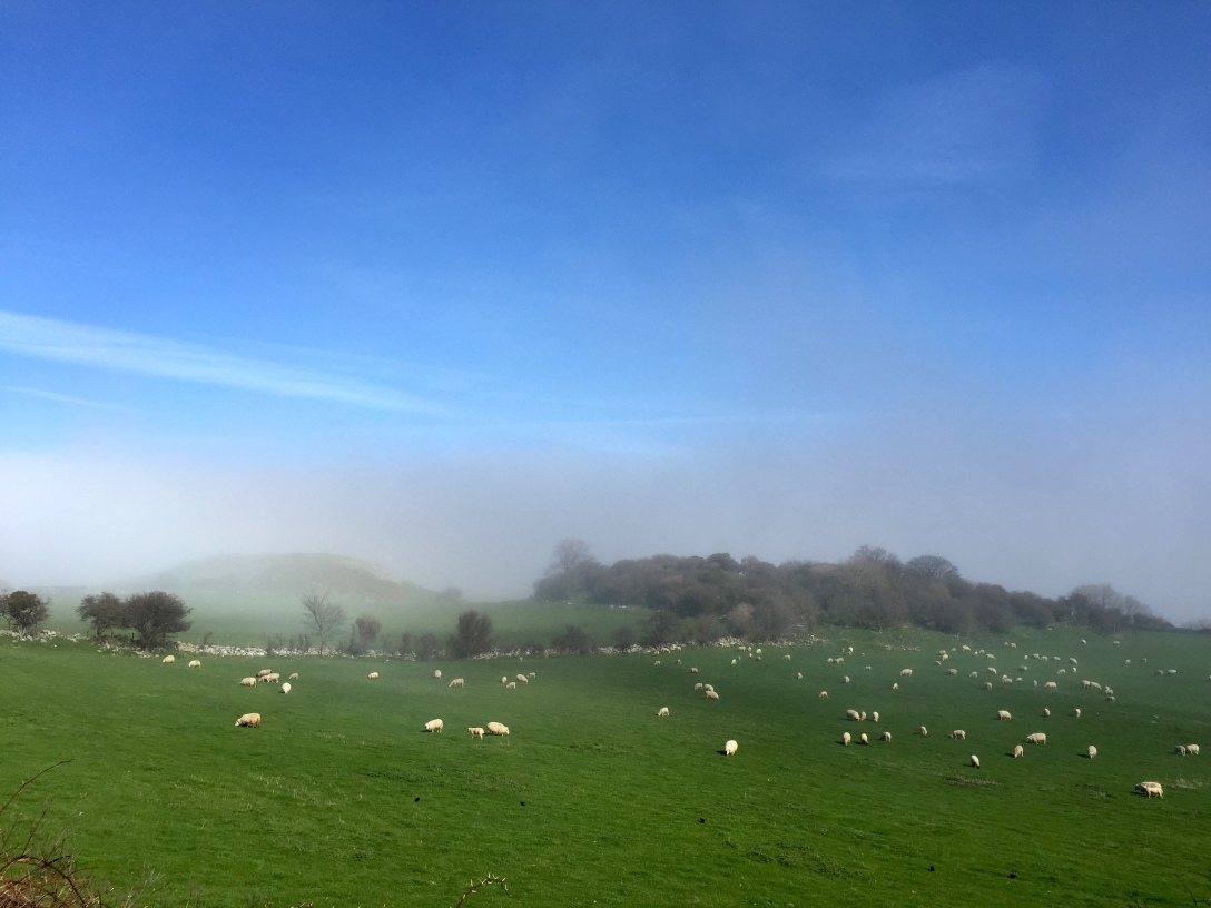 Fog rolling over the sheep on the Little Orme