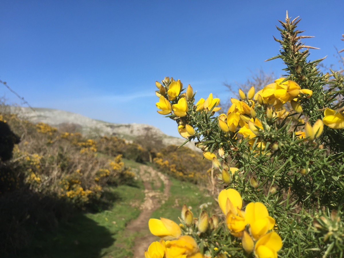 Gorse on the Little Orme