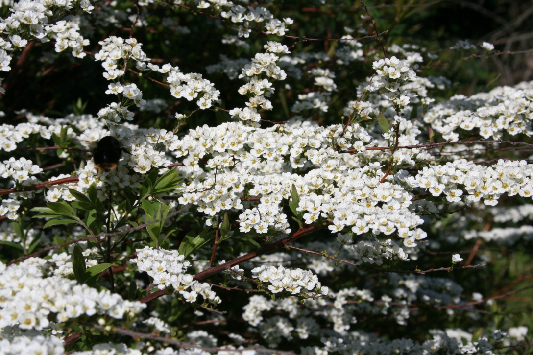 Spirea bush - flowers