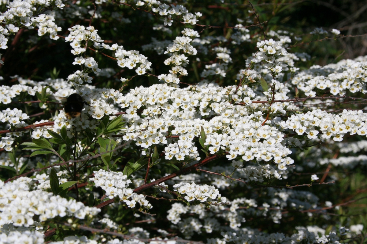 Spirea bush - flowers