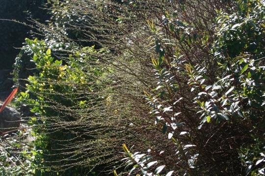 Spirea bush budding in March