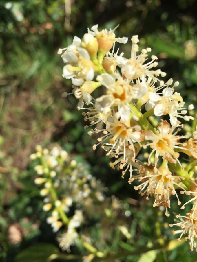 Fragrant flowering tree